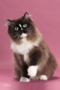 RagaMuffin kitten breeders