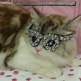 Ragamuffin cat