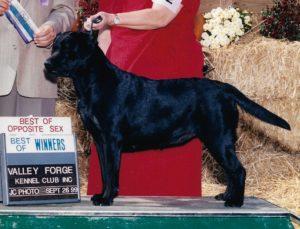 Labradors Retriever